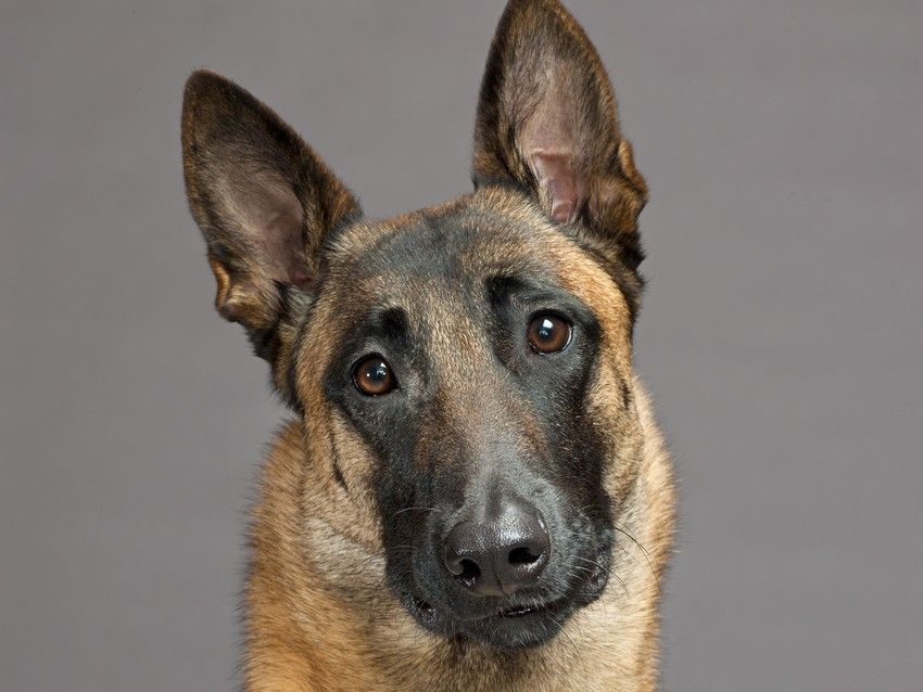 A Portrait Of A Belgian Malinois Read Animal Wise By Virginia Morell What Do Animals Think Malinois Belgian Malinois Dog Belgian Shepherd