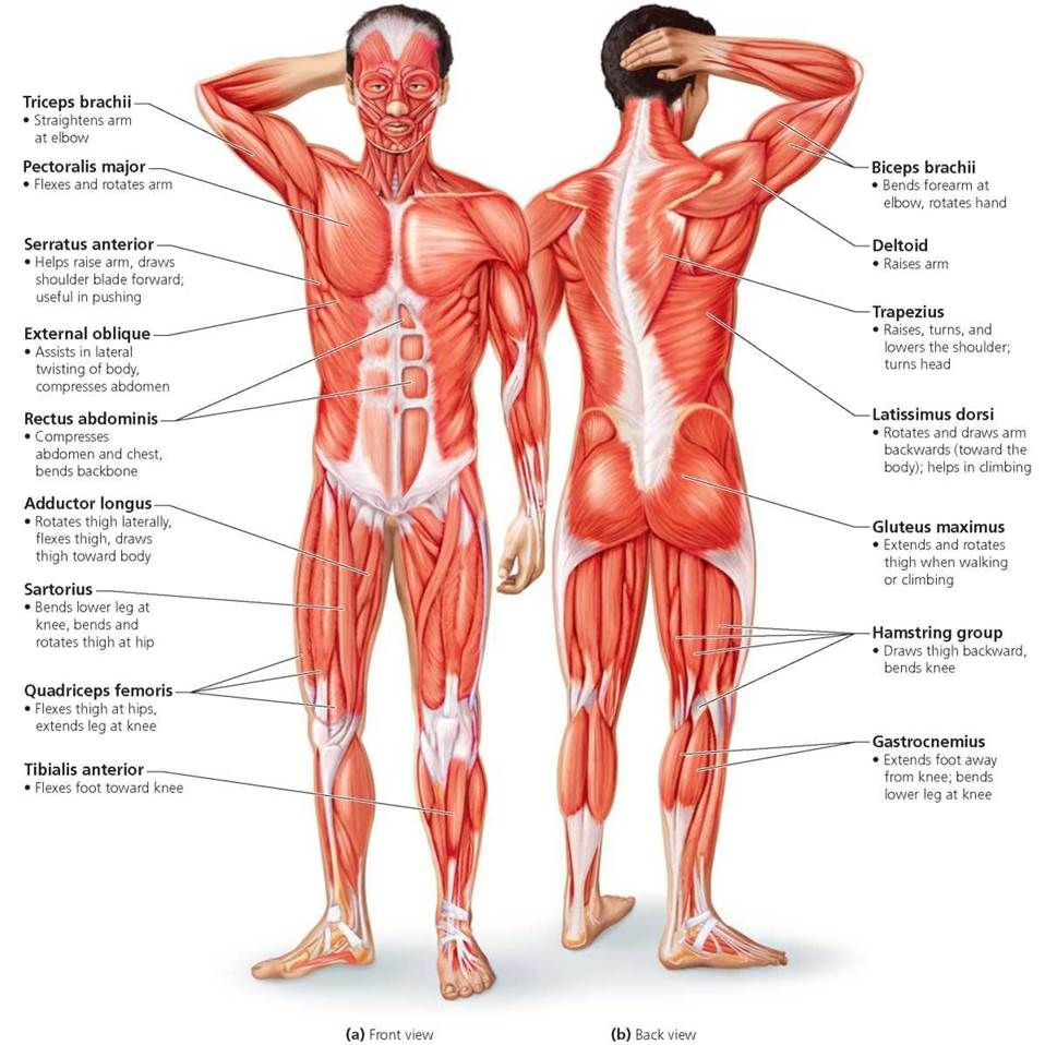 The Muscular System Biology Of Humans Human Muscular System Muscle Diagram Human Body Muscles
