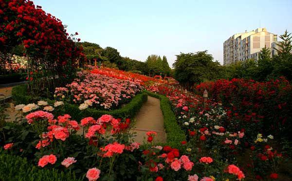 Vườn hoa hồng Bucheon - Hàn Quốc