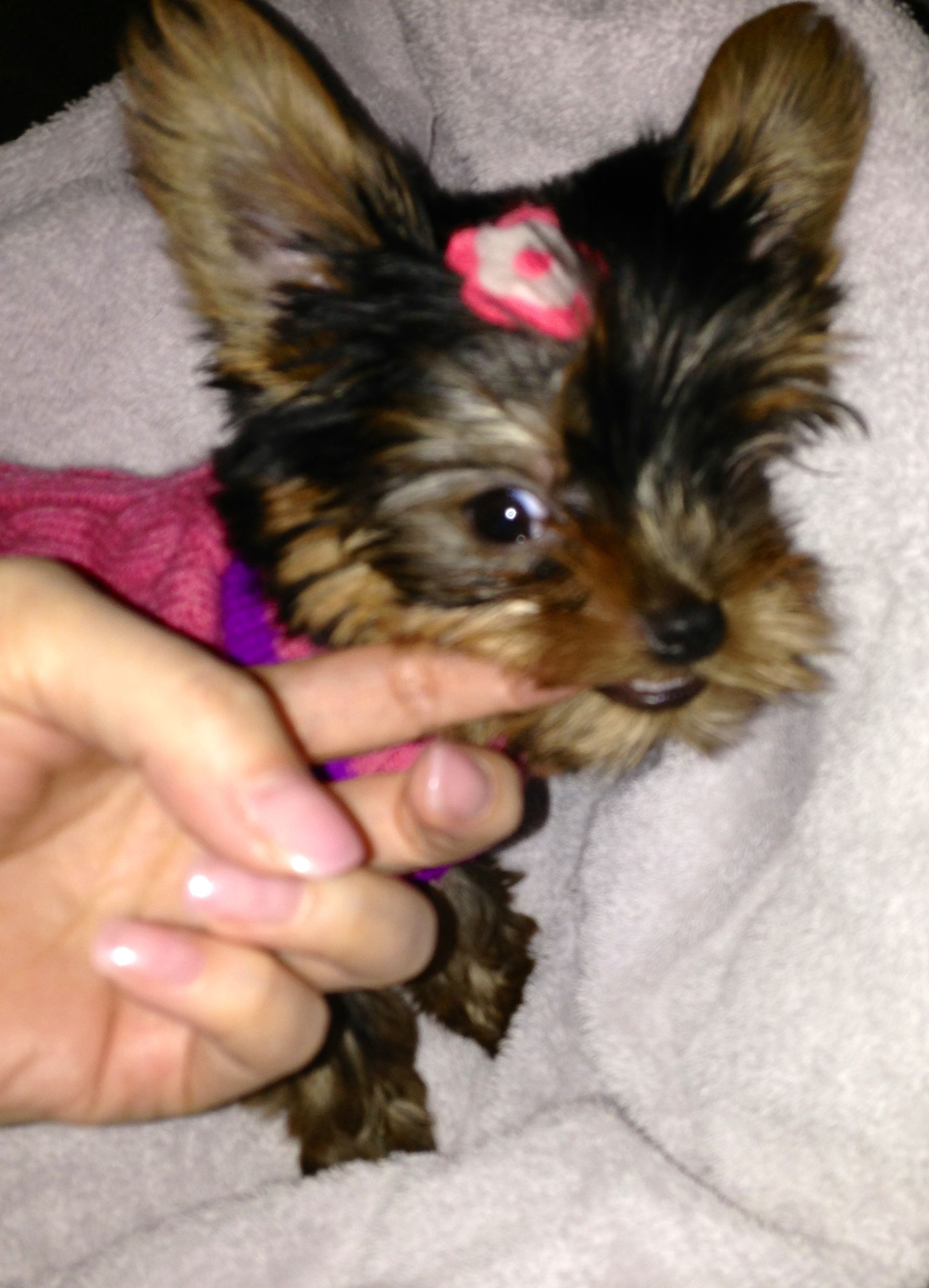 Lil Coby 8 Weeks Old Teething Lol Yorkie Yorkshire Terrier Mommy And Me
