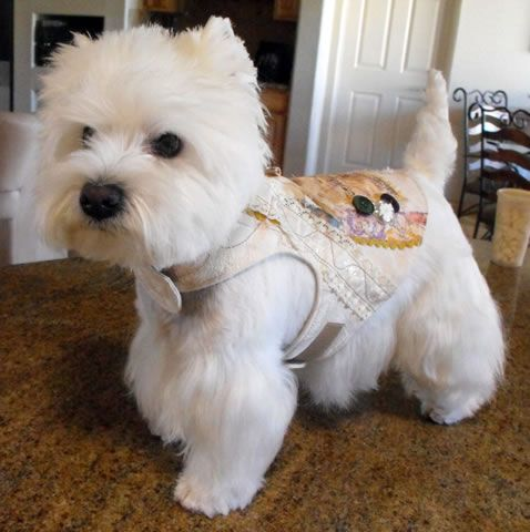 This Westie Is Wearing Some Seriousl Bling Westies Westie Terrier Cute Dogs