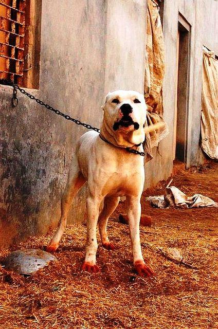 Bully Kutta Large Dog Breeds Rottweiler Training Rottweiler
