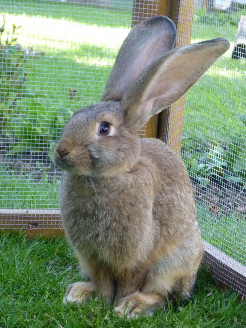 F Giant Rabbit continental giant rabb...