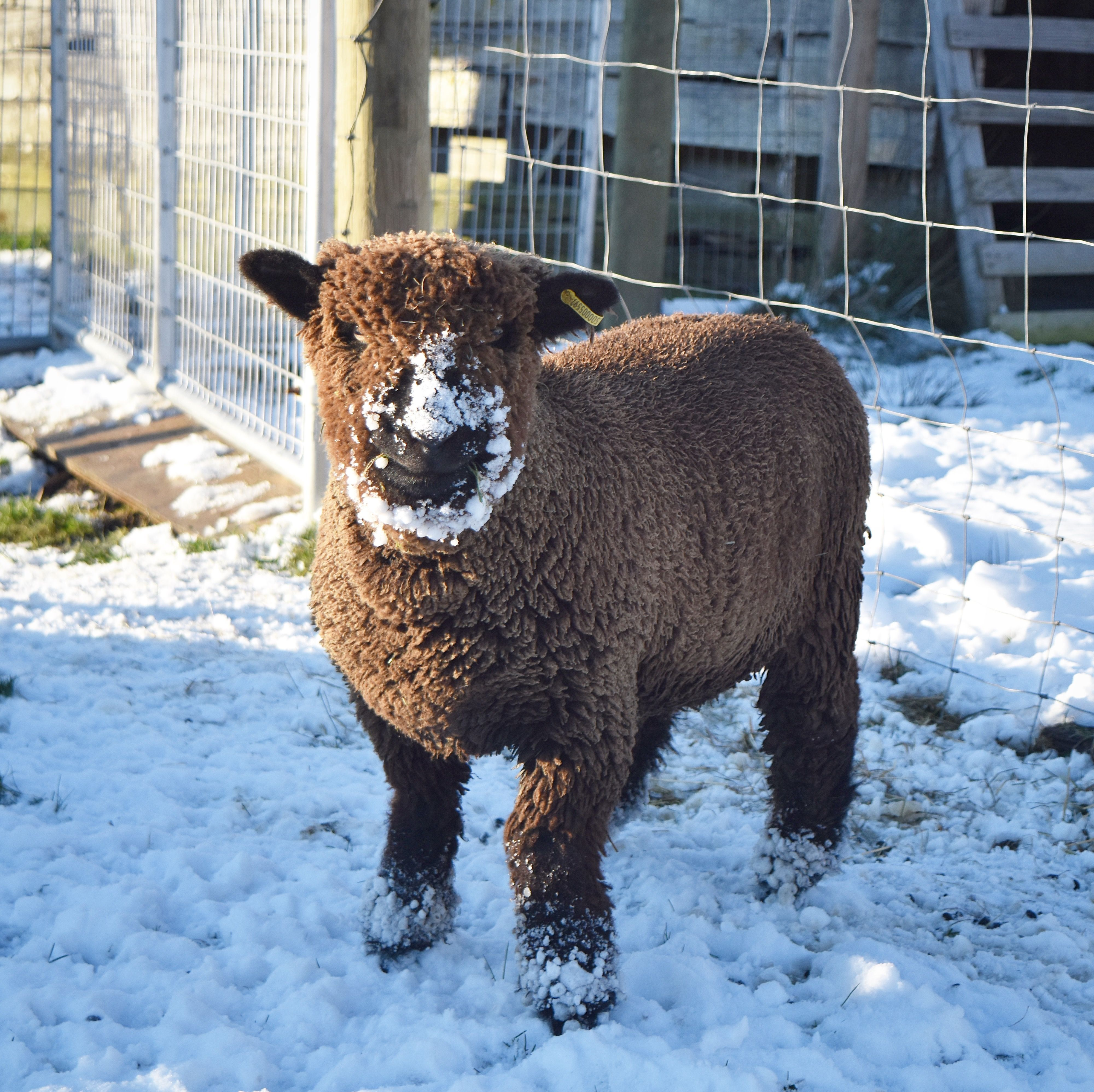 Babydoll Sheep In The Snow Babydoll Sheep Dwarf Goats Pigs For Sale