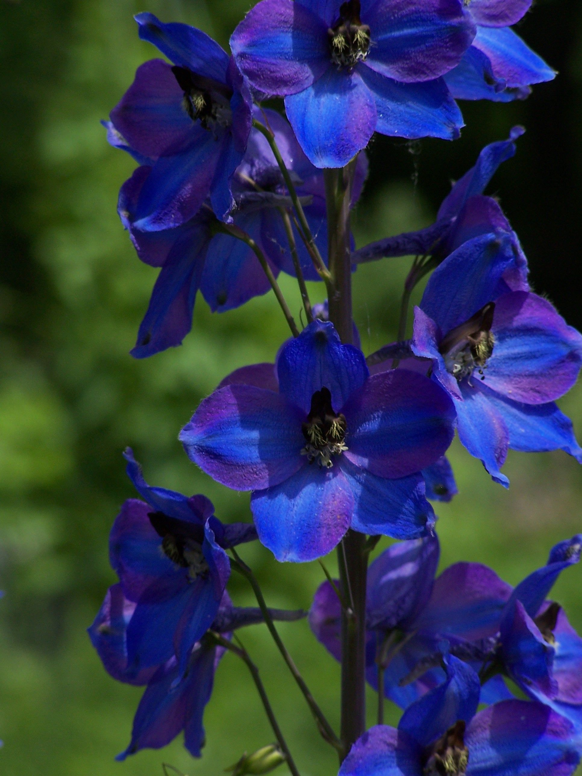 Delphinium Delphinium is a stately, elegant perennial that is a standard in English cottage gardens. Mounds of dark green, glossy foliage are adorned with huge spikes of showy, spurred flowers in e...