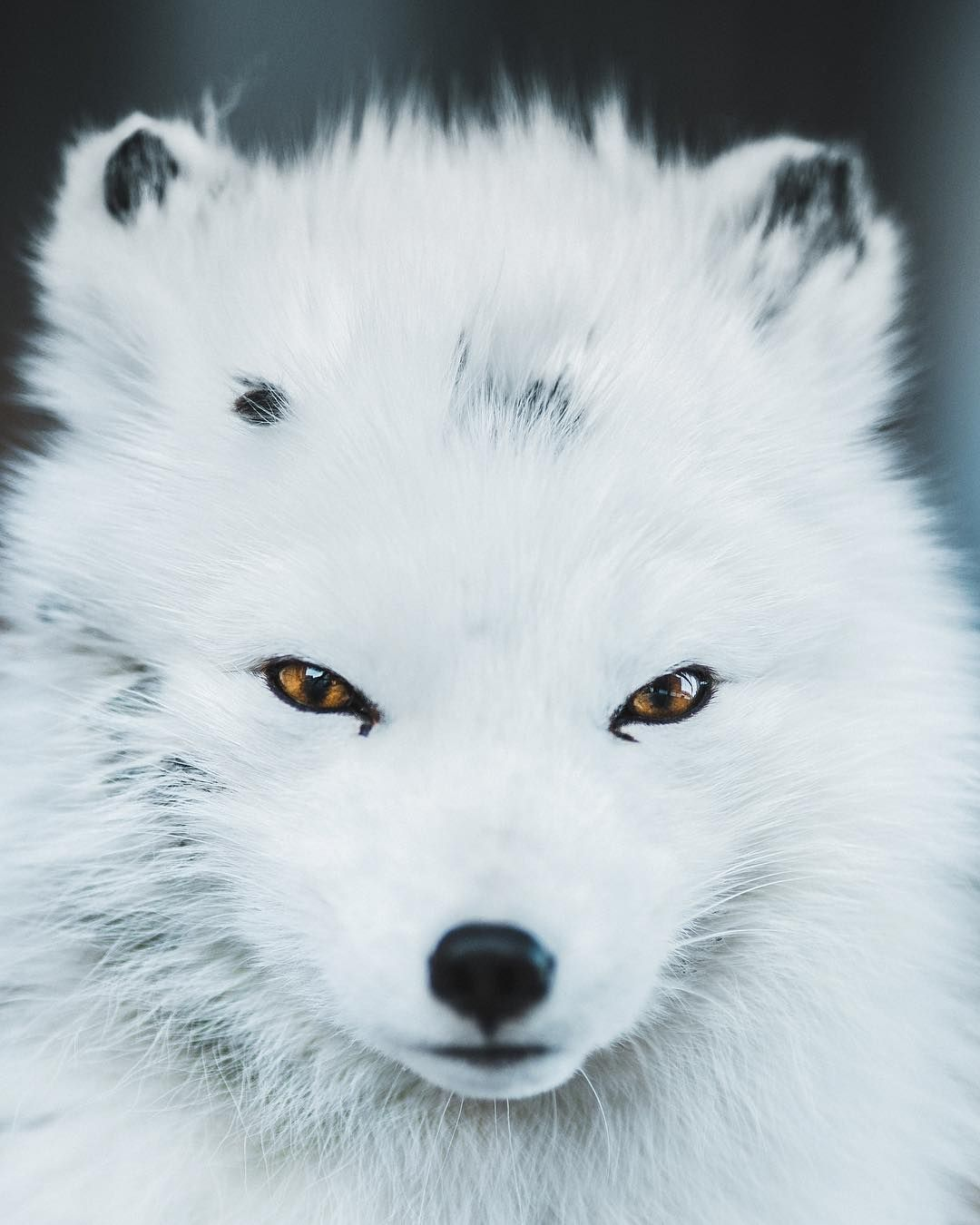 Life in the High Arctic. The Arctic Fox is an incredibly ...