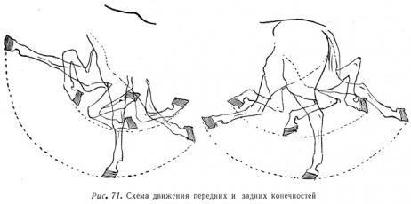 Схема движения передних и задних конечностей
