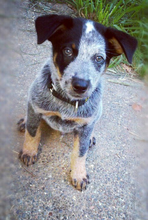 Brutus Australian Cattle Dog 10 Weeks Blue Heeler Queensland