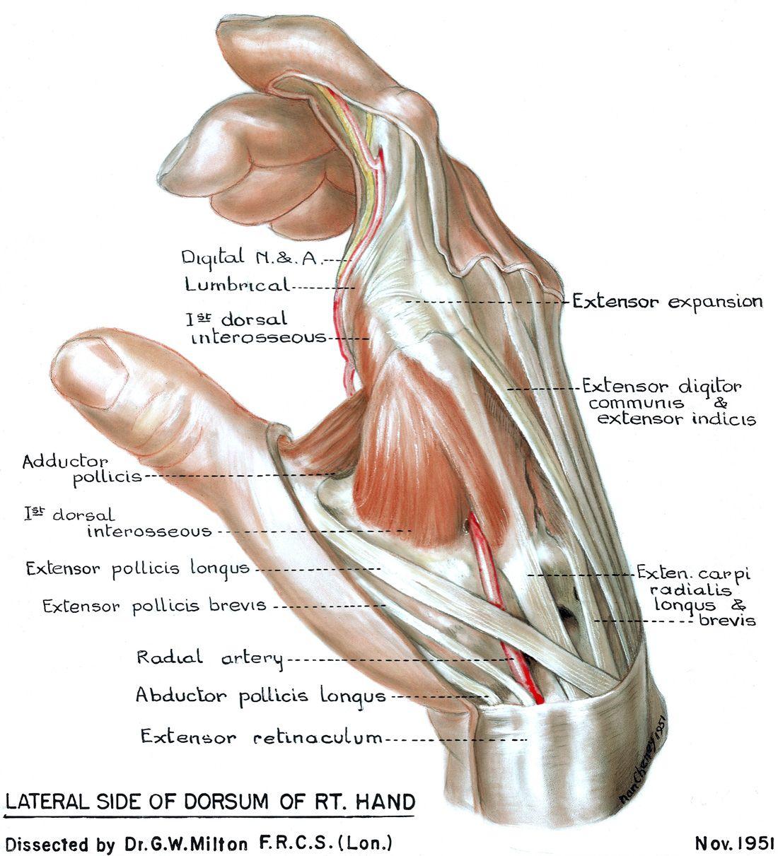 Dorsum of Hand Anatomy Dorsum Lateral Hand | Human Anatomy ...