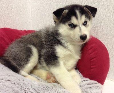 Petland Blog Puppies Husky Puppy