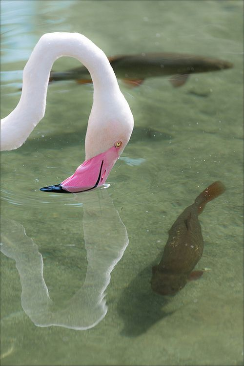 Flamingo and fish