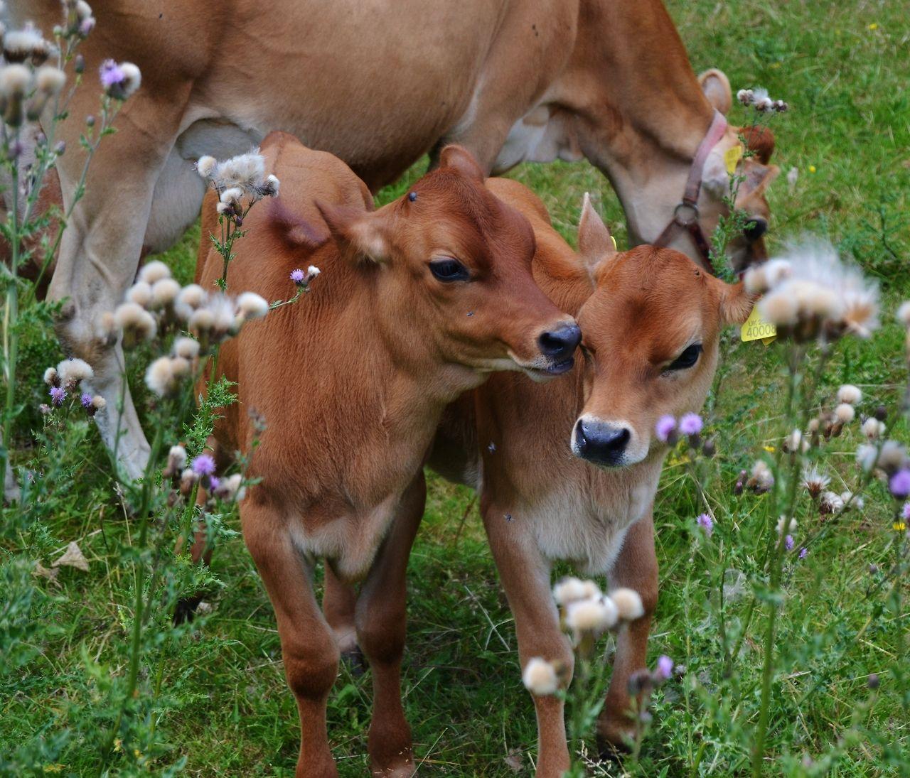 animals cows farm calves farming livestock calf cattle