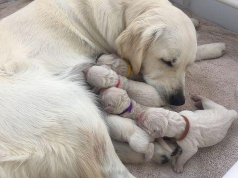 Golden Retriever Puppy For Sale In Houston Tx Adn 31147 On