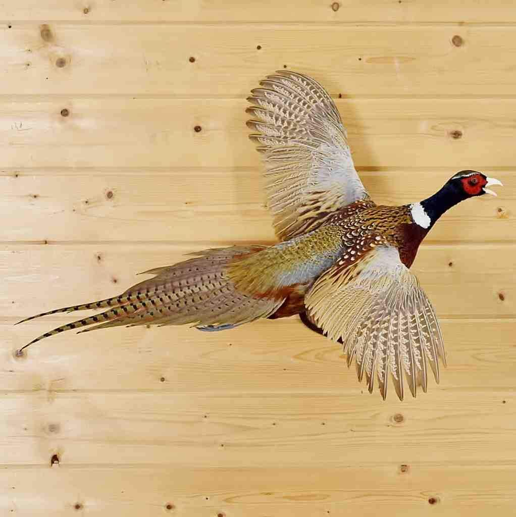 Flying Ring Necked Pheasant Taxidermy Mount Sw5913 Taxidermy Mounts Birds For Sale Ring Necked Pheasant