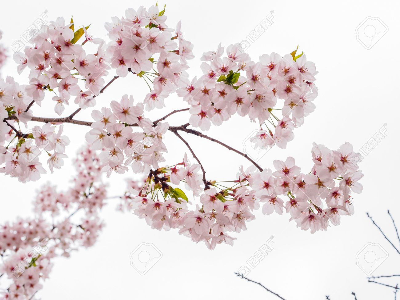 Spring Flowers Series Beautiful Cherry Blossom Pink Sakura Spring Flowers Pictures Of Spring Flowers Cherry Blossom