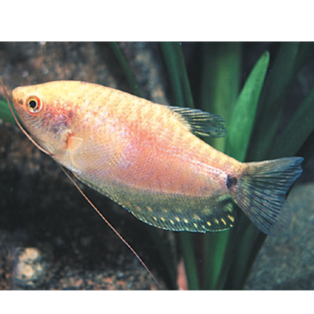 Gourami In 2020 Pet Fish Pet Spray Tropical Fish Aquarium