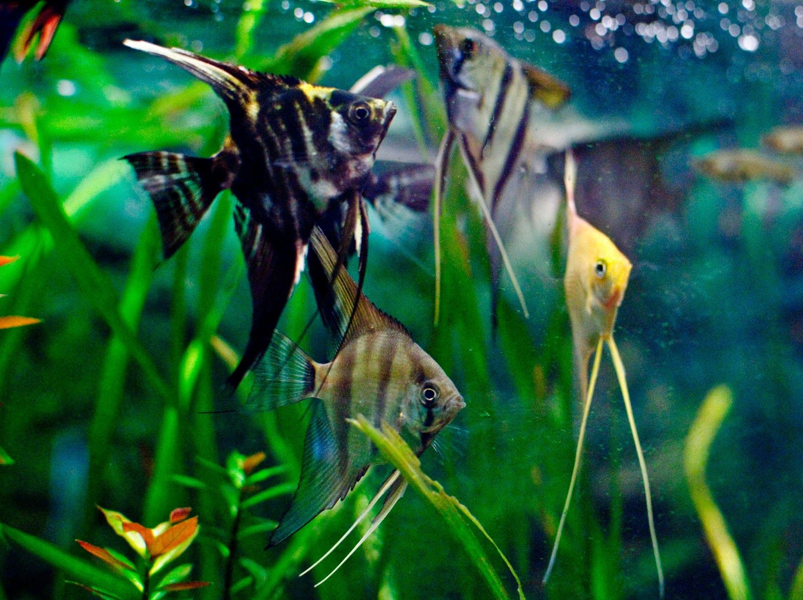 Pictures Of Freshwater Angelfish Freshwater Angelfish Angel Fish Tropical Fish Pet Fish