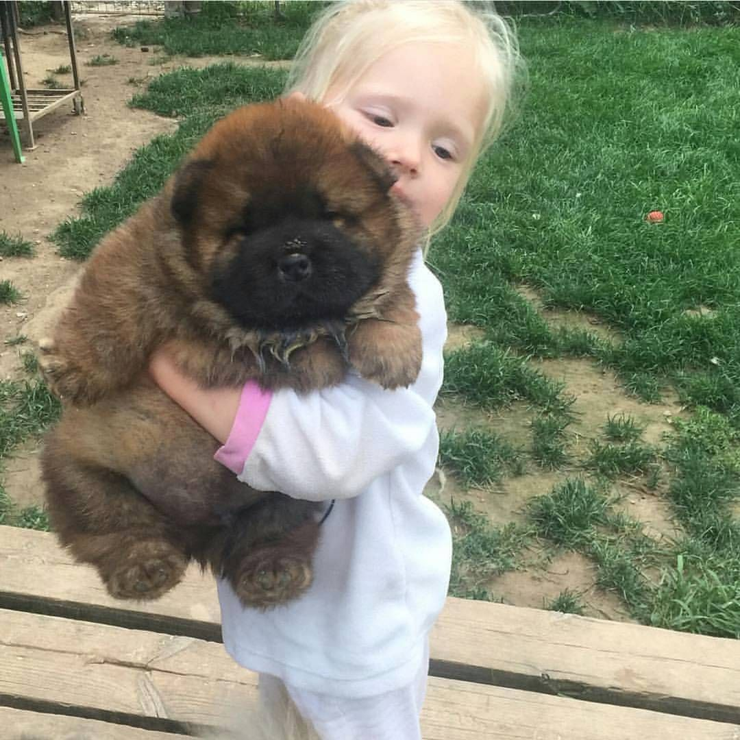 See This Instagram Photo By Worldofchowchow 12 4k Likes Cute