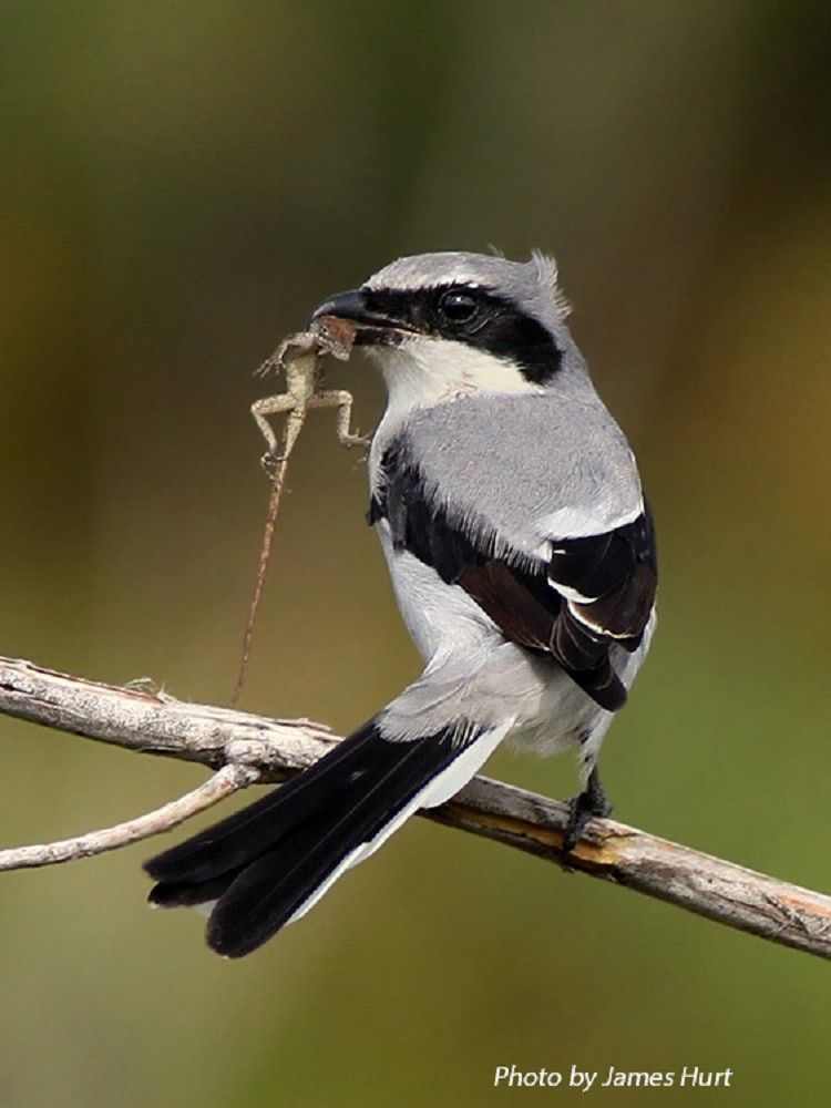 Loggerhead Shrike - nicknamed the butcherbird after its carnivorous tendencies, as it consumes prey after impaling it upon thorns or barbed wire. Prey includes amphibians, insects, lizards, small rodents and small birds.