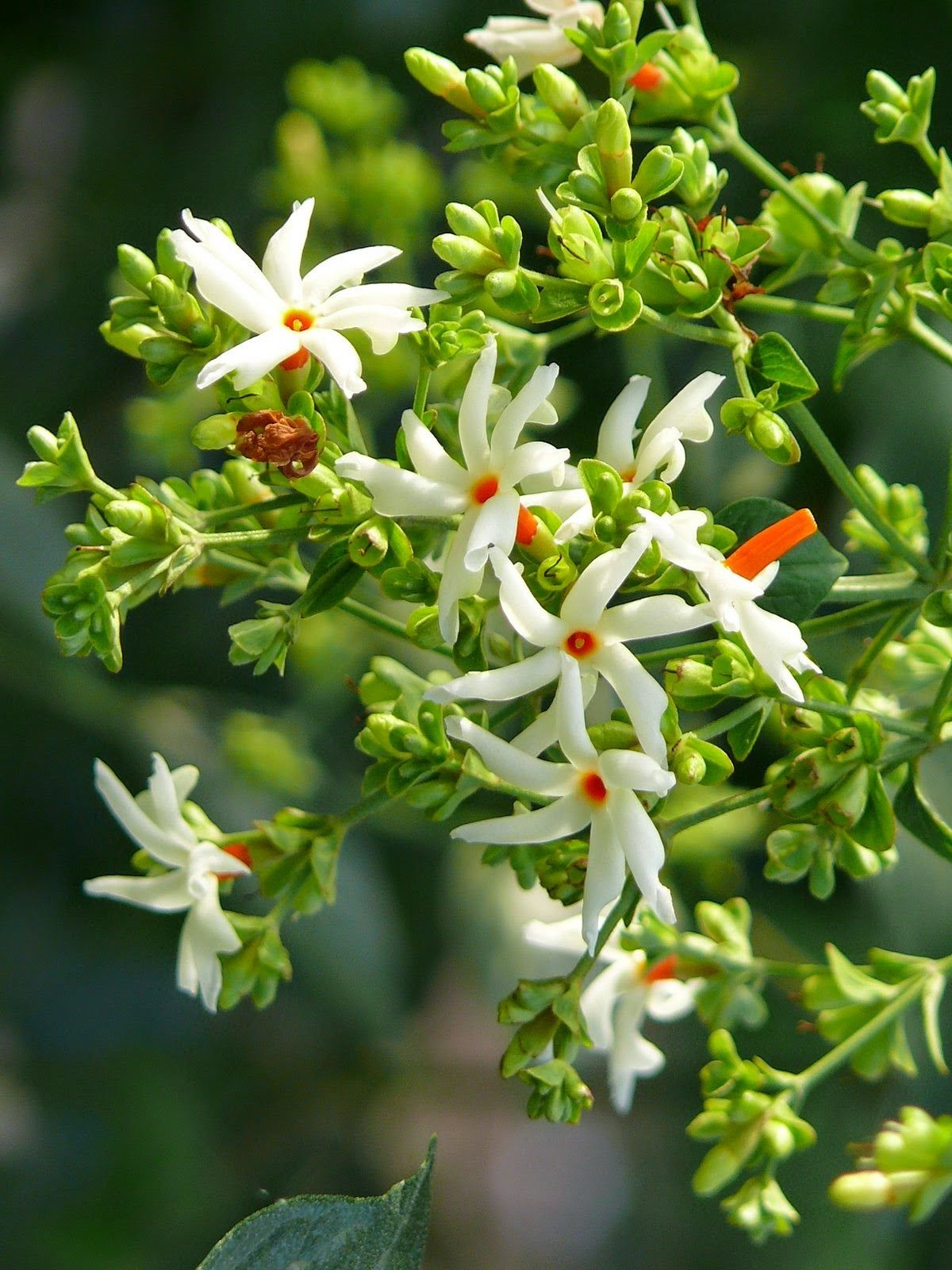 Cultivating nightblooming Jasmine near your bedroom