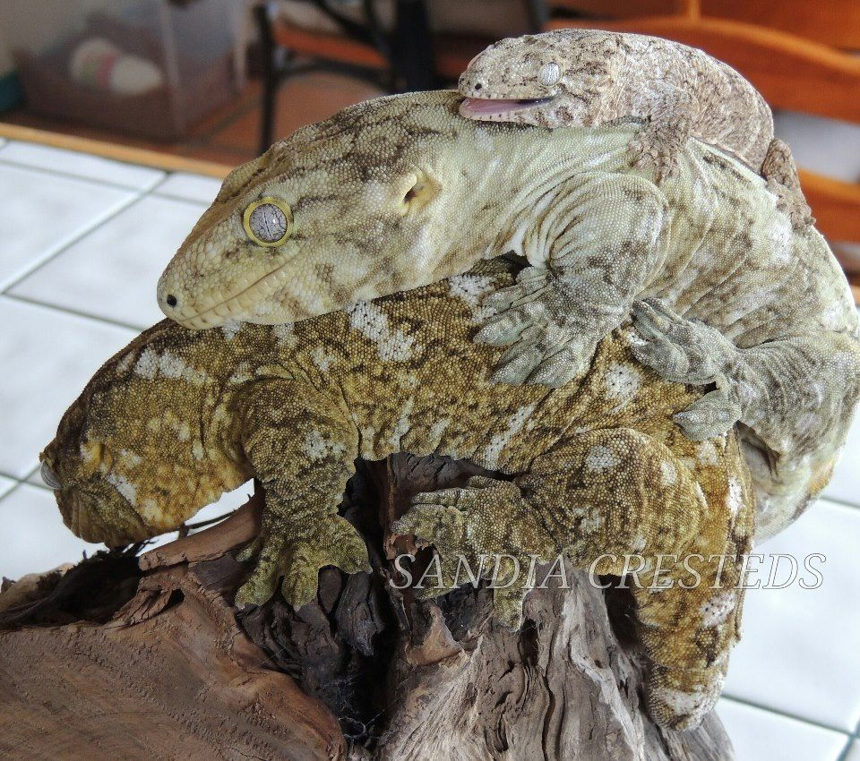giant crested gecko - photo #1