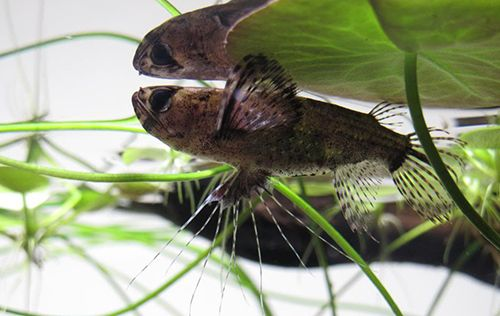 African Butterfly Fish Pantodon Buchholzi Profile Information And Care Aqua Eden Freshwater Tropical Fish Profiles Tropical Fish Butterfly Fish Fish