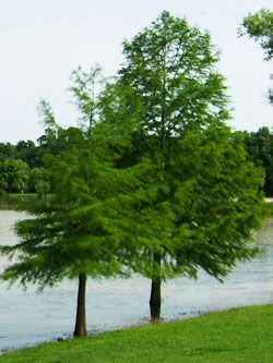 Image result for bald cypress tree