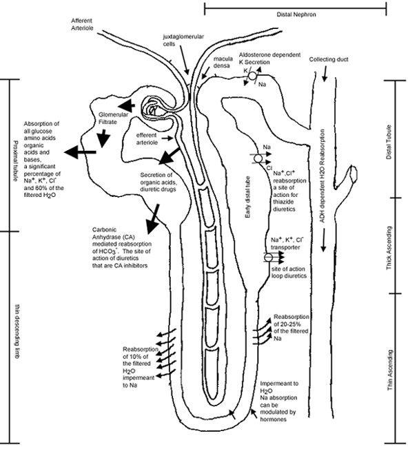 the pharmacodynamics of diuretics