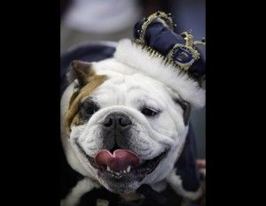 Beautiful Bulldog Contest Winner Tyson Wins 2012 Beautiful