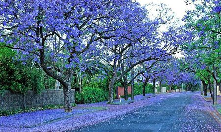 Adelaide Exposed Jacaranda Tree Adelaide South Australia Living In Adelaide