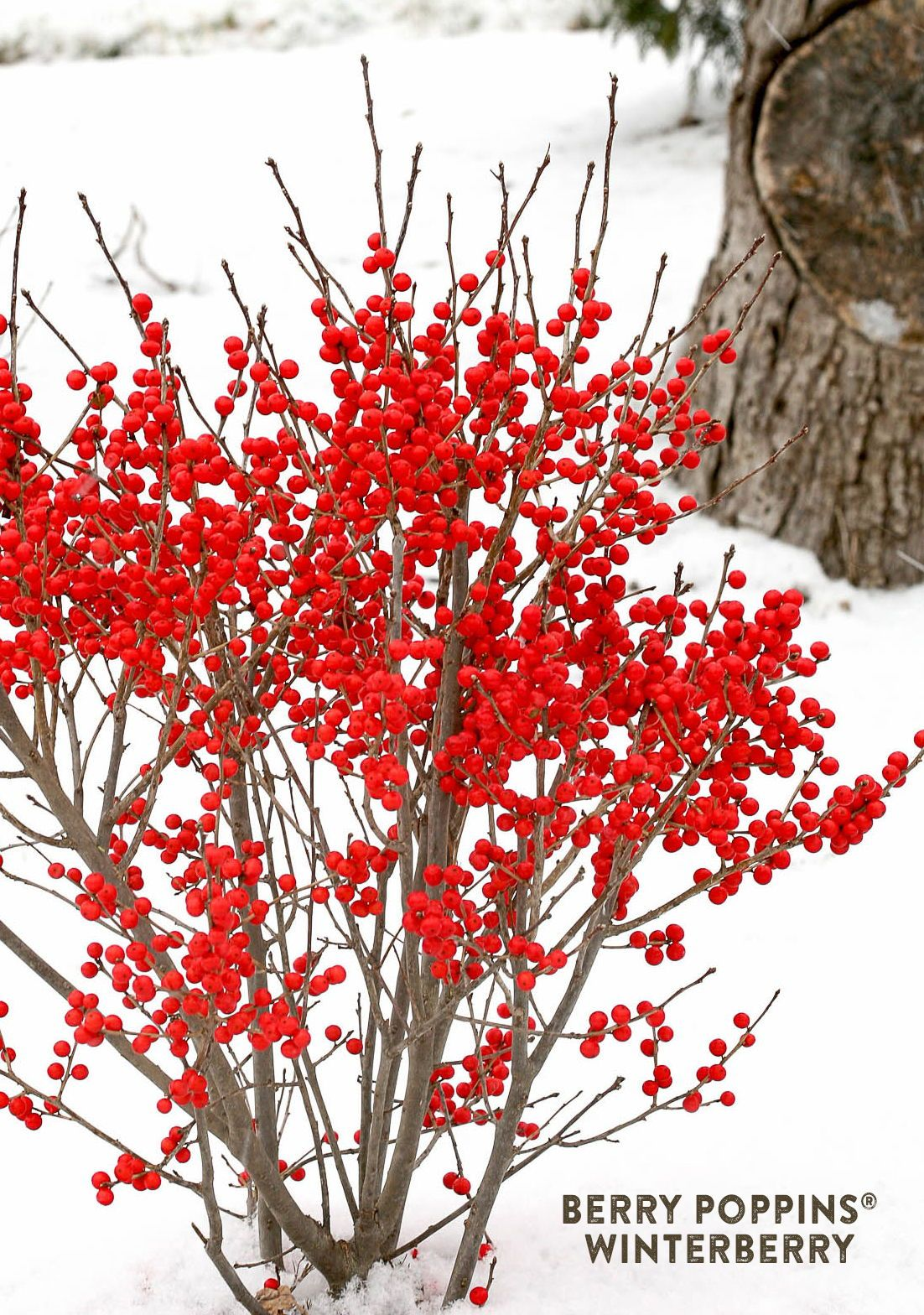 Berry Poppins® - Winterberry - Ilex verticillata #winterlandscape
