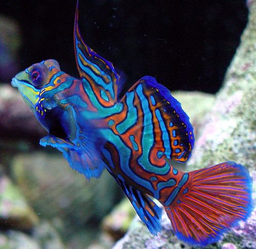 Colorful saltwater fish google search saltwater for Salt water fish pets