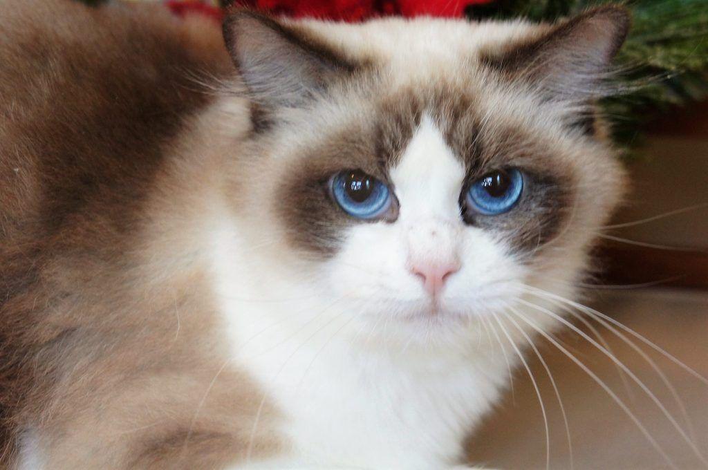 Ragdoll Kittens For Sale From Grand Champion Breeder Kitten