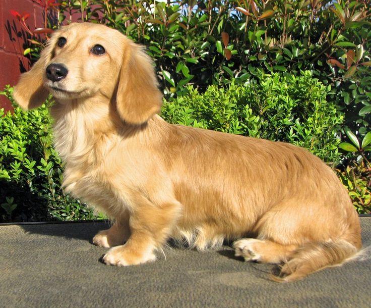 Cream Colored Longhair Mini Dachshund Dachshund Puppies English