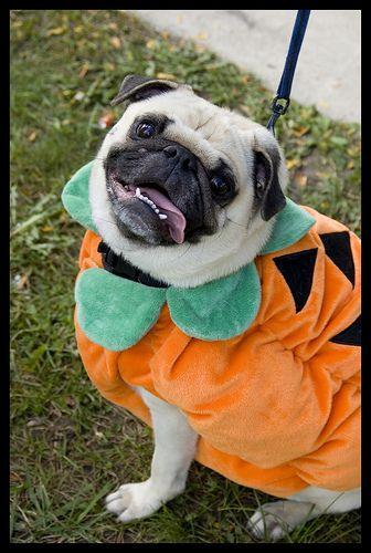 Pumpkin Pug Pugs Love Pet Pug Halloween Costumes