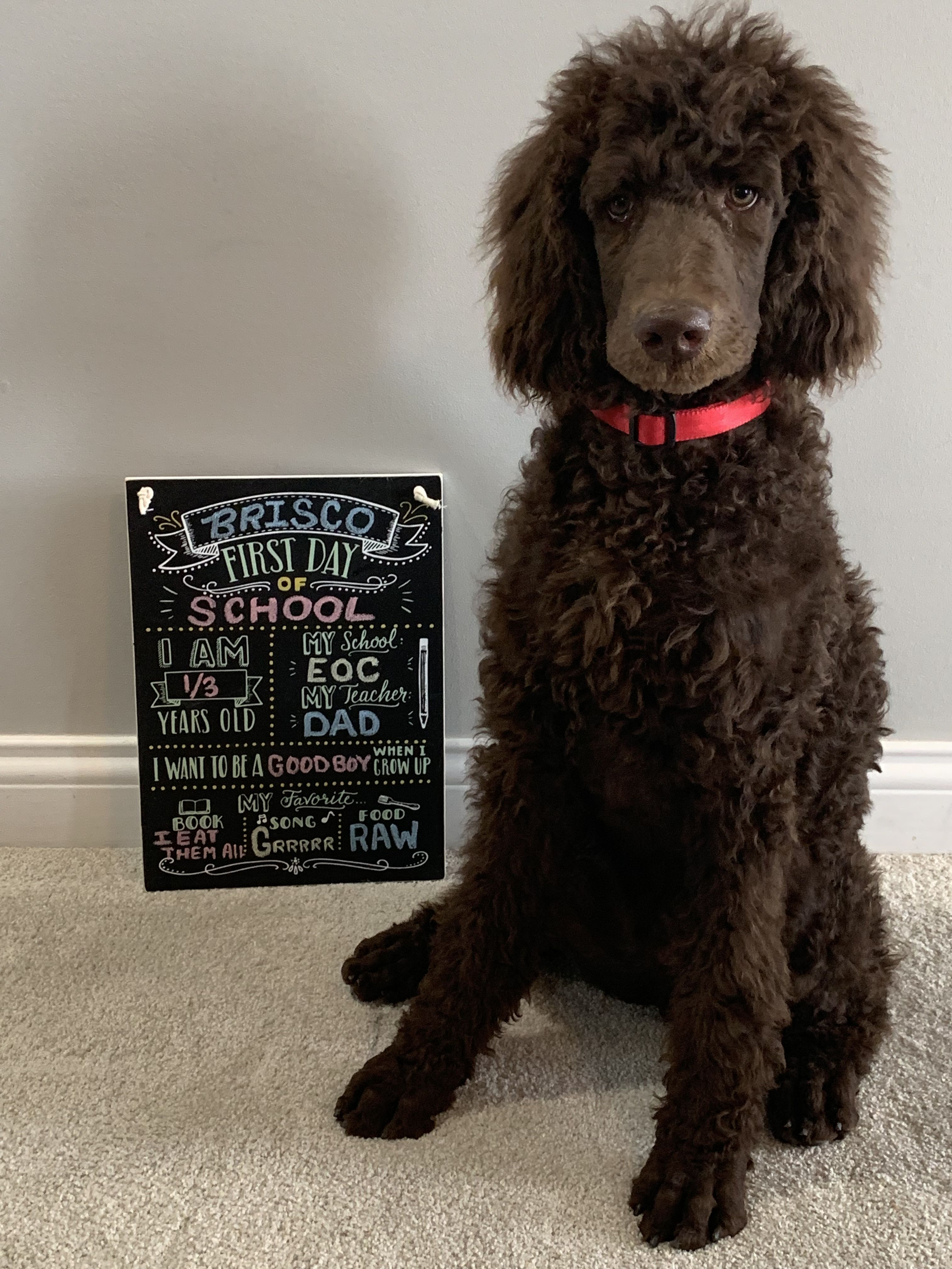 Pin By Monsterclean On Standard Poodle Puppy School Puppies