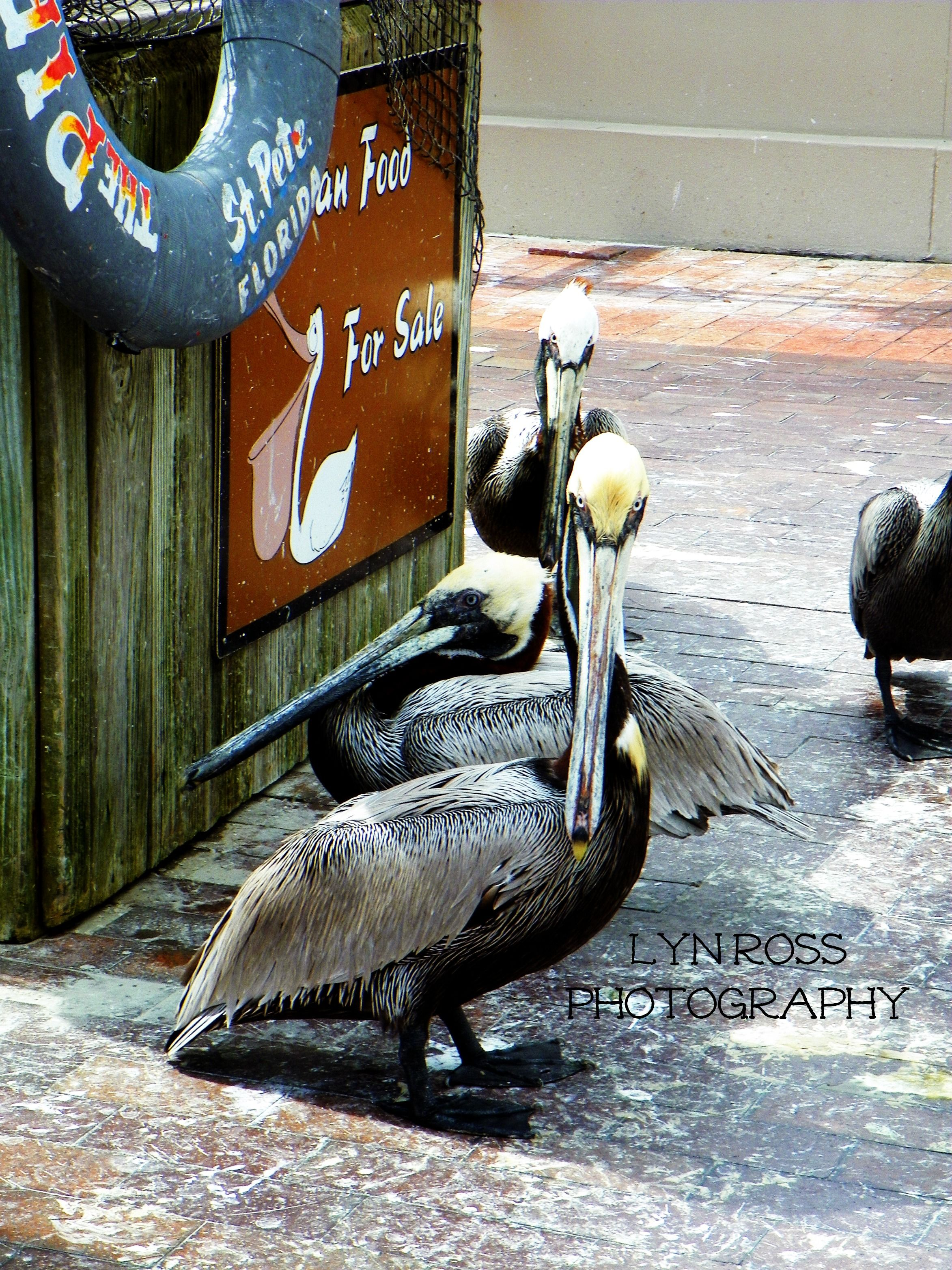 Pelicans at The Pier in St. Petersburg, FL! Animals