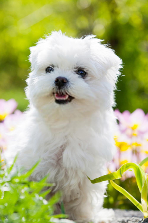 Maltese Puppy In 2020 Maltese Dogs Maltese