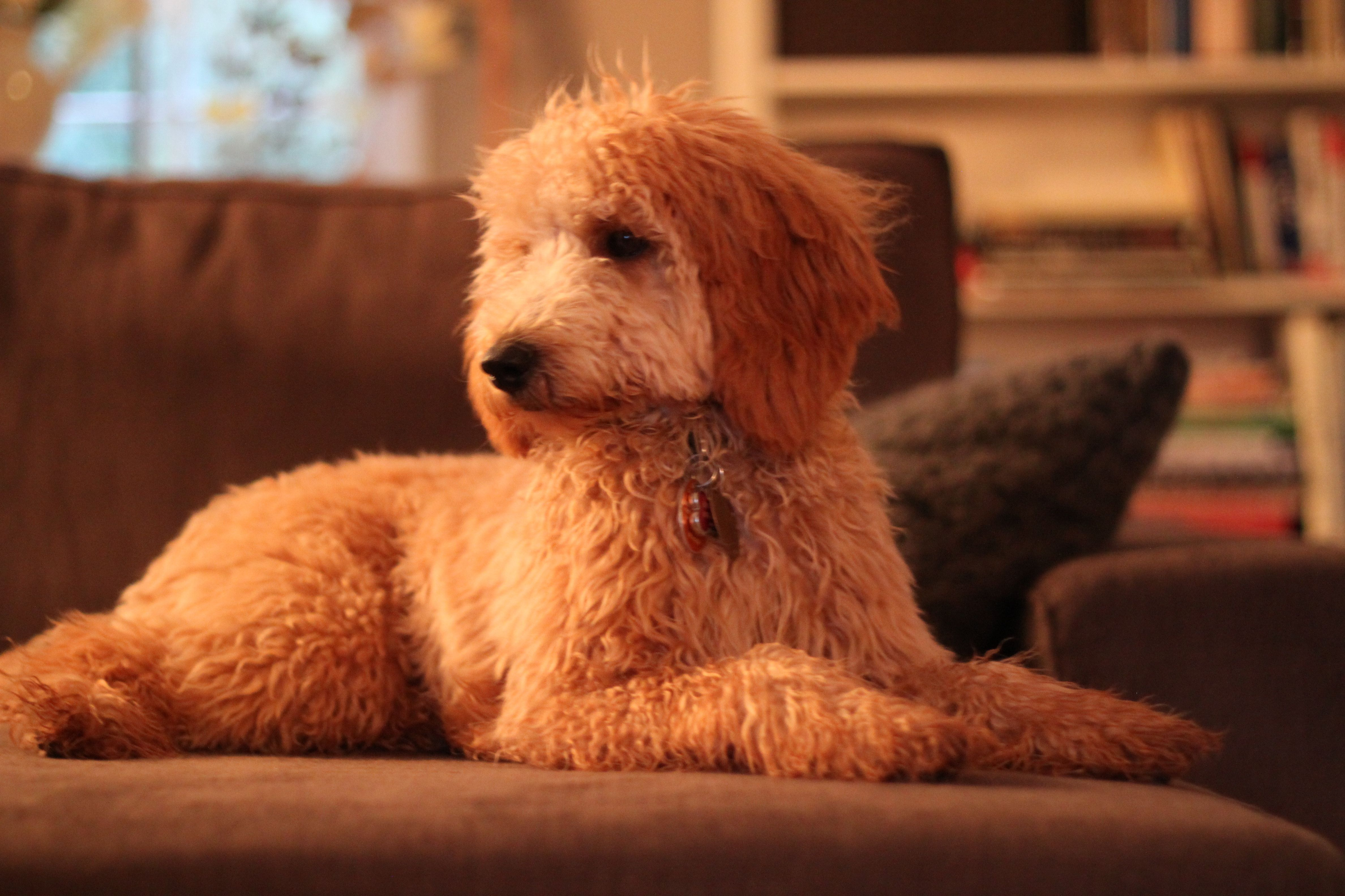 Angel at 8 months old, red apricot Goldendoodle puppy by
