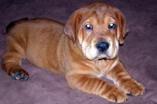 Simple Shar Pei Chubby Adorable Dog - 597da8743eb480538055345e3647c4b9  Trends_51648  .jpg