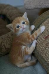 Ginger Grant is an adoptable Tabby Cat in Washington, DC. � Fosters make it possible for Lucky Dog Animal Rescue to save and care for homeless and abandoned dogs and cats!� To learn about fostering ca...