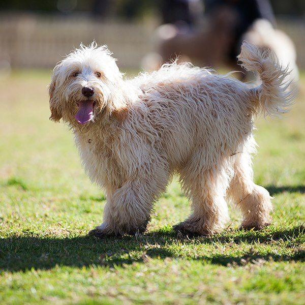 Calico Medium Tamaruke Labradoodle Labradoodle Doggy Pets