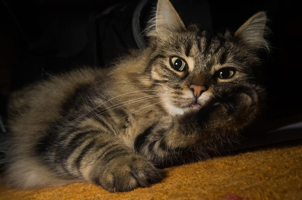 Norwegian Forest Cat The Ultimate Guide to their history