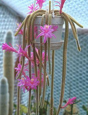 Виды комнатных кактусов: описания, названия и фото (с ...