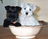 Tea Cup Schnauzers! My aunt has these! a white and black one just like this :)