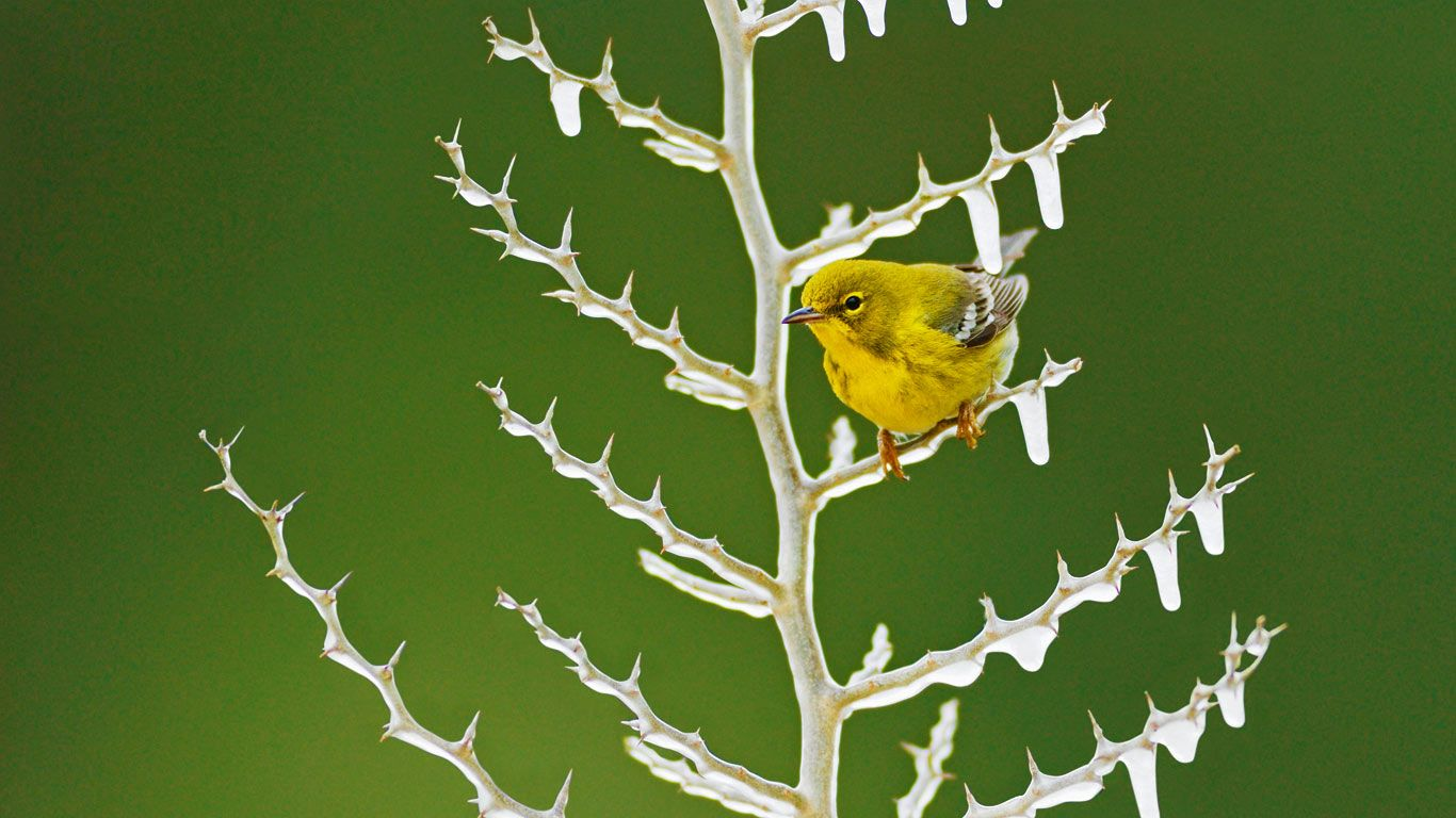 A male pine warbler perched on an icy branch (© Rolf Nussbaumer Photography/Alamy)