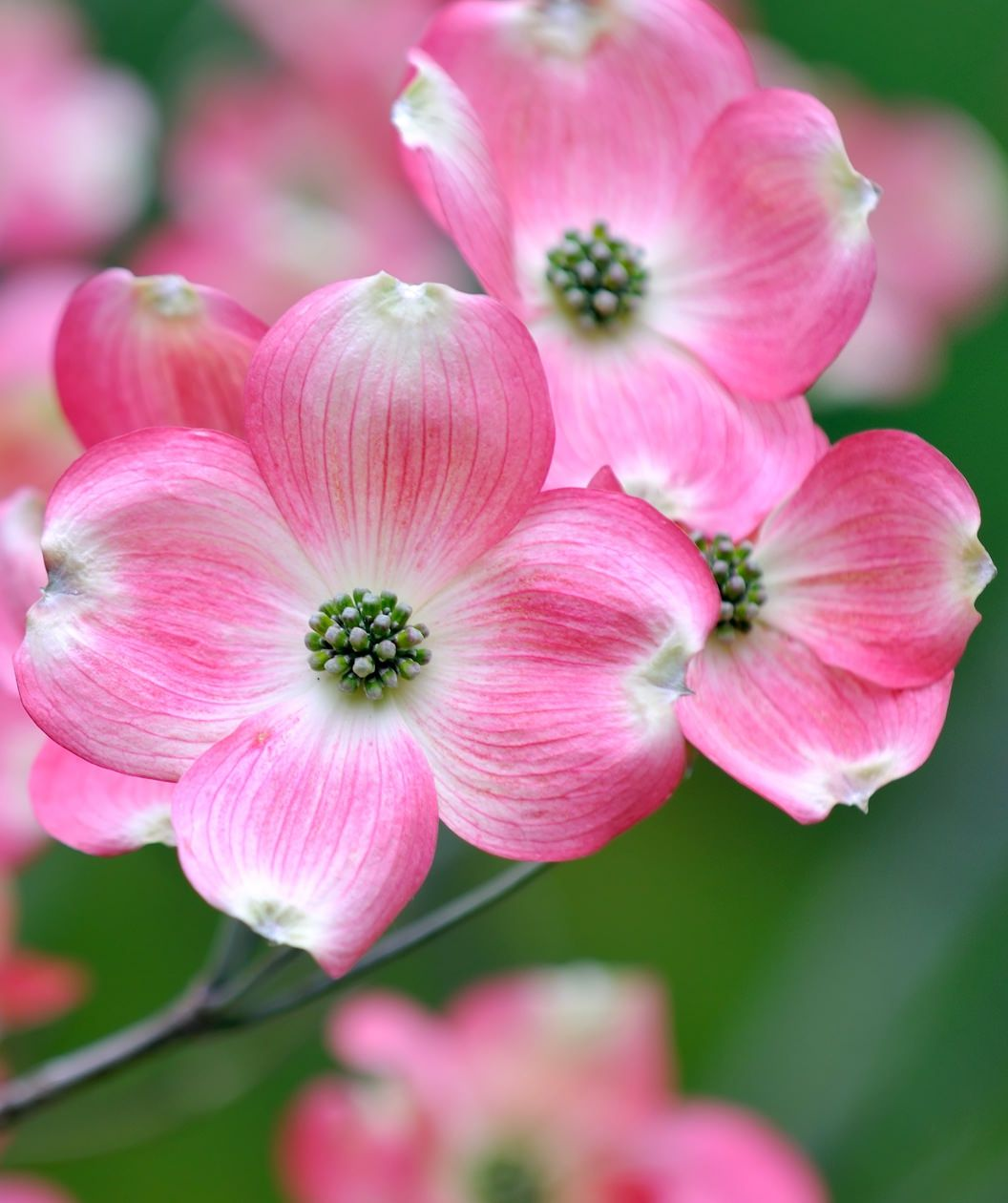 Pictures Of Dog Wood Flowers