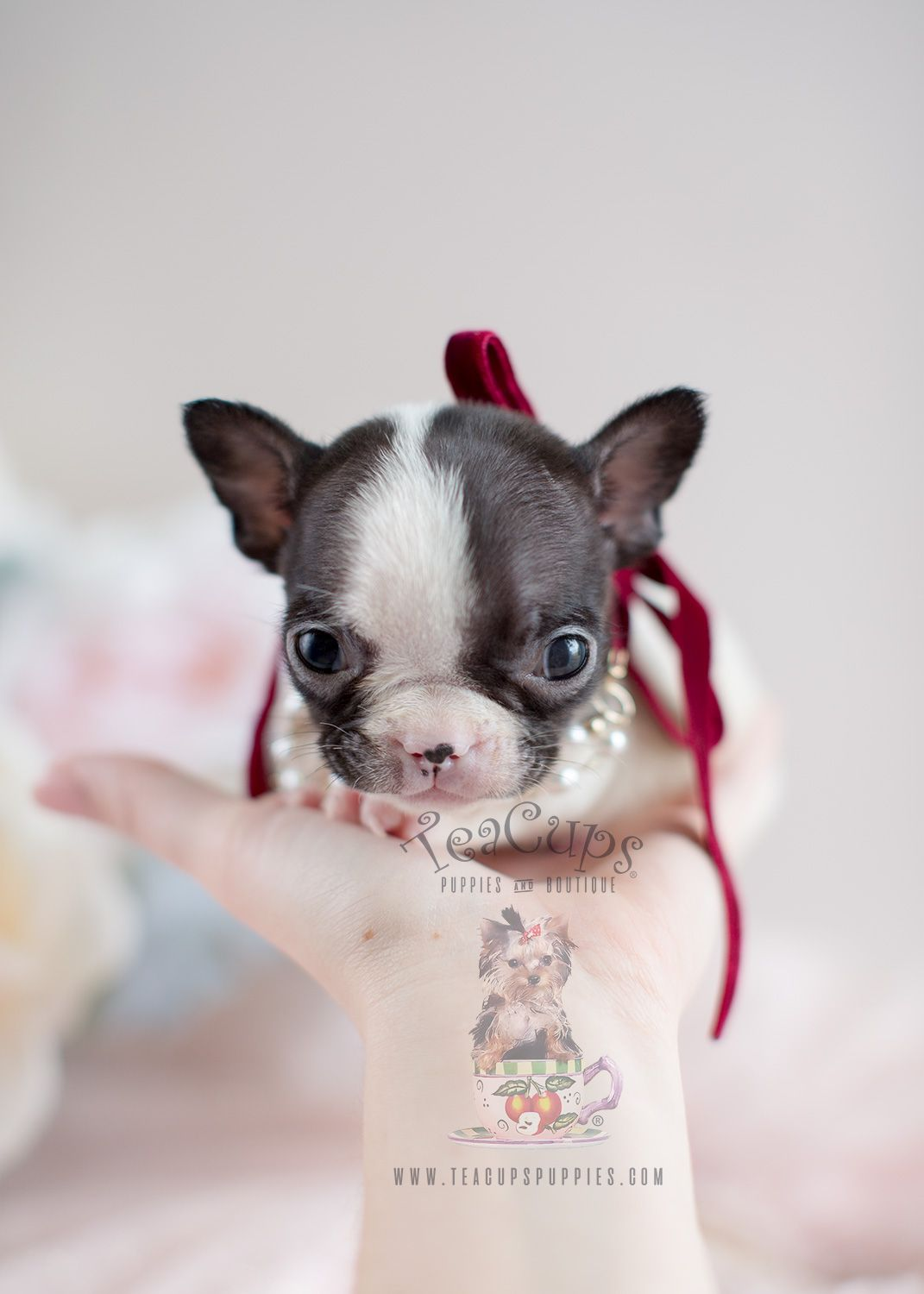 Mini Frenchie Puppy By Teacupspuppies Com Frenchie Frenchbulldog
