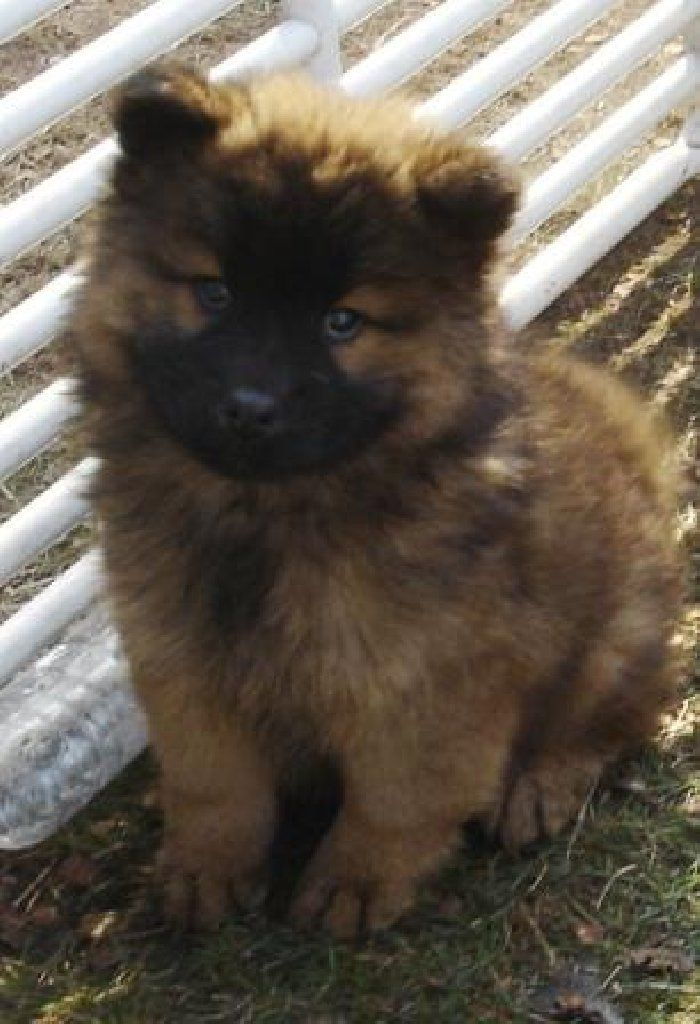 From Montreal Canada Eurasier Finnish Lapphund Puppies Dogs