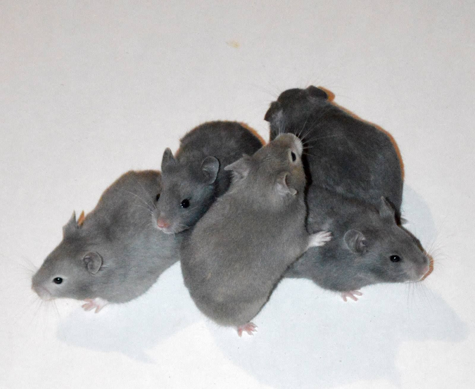 Brookside Hamstery Clockwise From Left Dilute Sable Blue